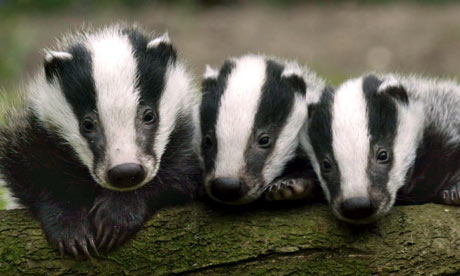 fight the badger cull