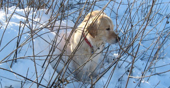Rosie in the reeds, in the snow